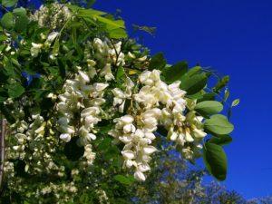 Drewno akacjowe pozyskiwane jest z drzew należących do gatunku robinia akacjowa, której nazwa zwyczajowo ograniczana jest do słowa akacja. To drewno elastyczne, giętkie i bardzo wytrzymałe.